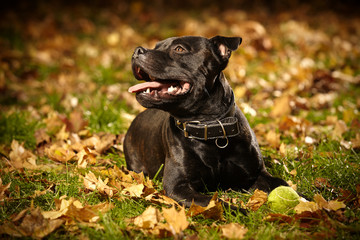 Staffordshire bull terrier in city park