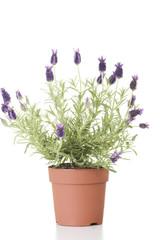 Lawender flower in a pot
