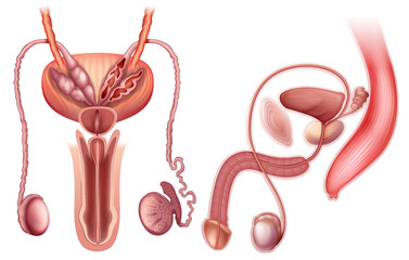 A male reproductive organ