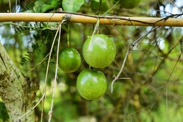 fresh green Passion fruit on vine from frame