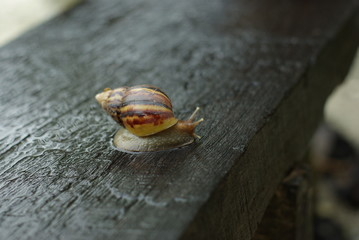 Wet Juicy snail on the wood