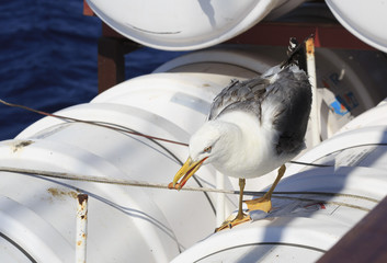 Yellow-legged gull on the ship with bread in its beak.