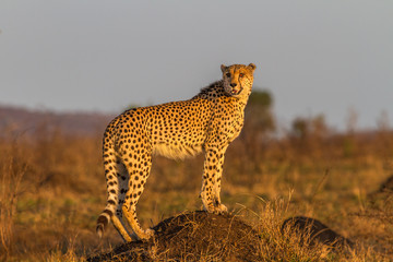 Cheetah Standing on Termite Mound