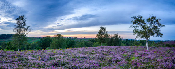 New Forest Heather