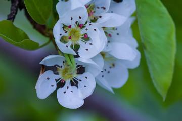 closeup apple blossom