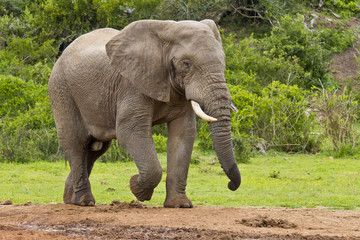 Strong male elephant