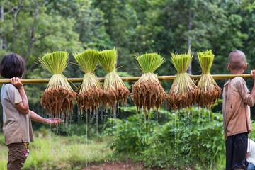 Thailand farmers are preparing rice seedlings for planting seaso