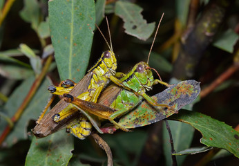 Grasshoppers 1