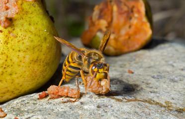 Hornet eats pear 2