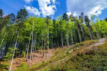 pine forest on a hill slope