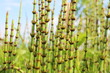 Leinwanddruck Bild - Horsetail (Equisetum sp.) spring fresh stems against a blue sky