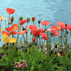 Colorful poppies on the Lake Geneva