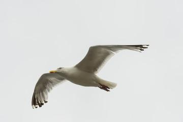 seagull in flight  at Clovelly, Devon