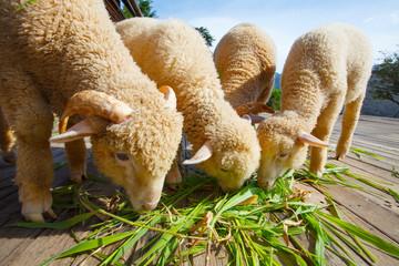 merino sheep eating ruzi grass leaves on wood ground of rural ra