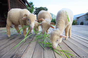 merino sheep eating green grass leaves on wood floor of beautifu