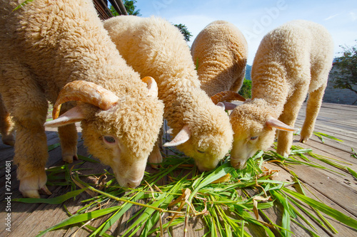 Canvas Schapen merino sheep eating ruzi grass leaves on wood ground of rural ra