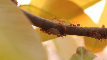 Living ants