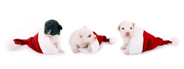 Drei kleine Hunde in Nikolausmützen