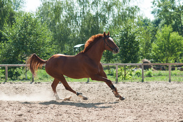 Beautiful chestnut horse on the run