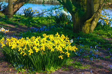Yellow narcissus in park.