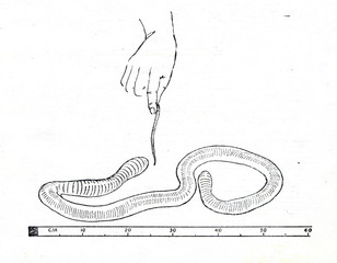 Giant Gippsland earthworm (Megascolides australis)