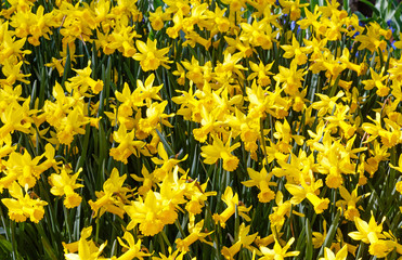Yellow daffodils (spring background)