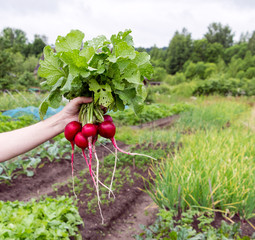 Hand holding fresh bunch of radish on green field background