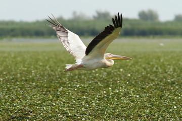 great pelican flying over marsh