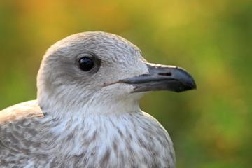 juvenile herring gull head
