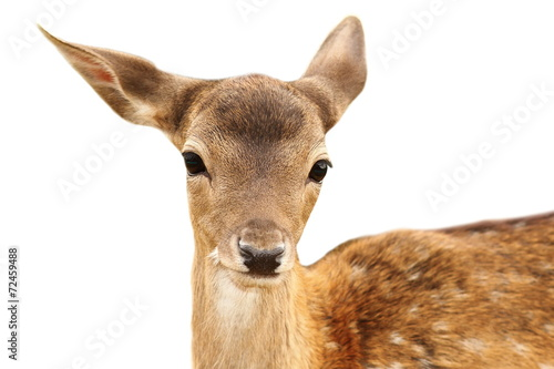 Foto op Aluminium Hert isolated portrait of fallow deer calf