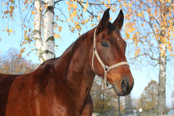 Beautiful bay horse portrait in autumn