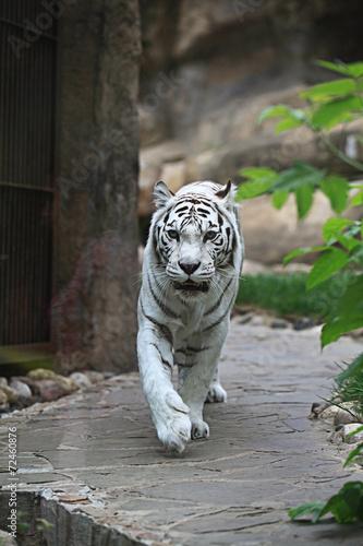 Foto op Plexiglas Tijger White albino tiger