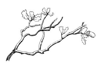 the branch of  oak tree