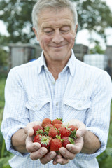 Senior Man On Allotment Holding Freshly Picked Strawberries