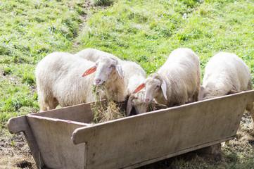 owce przy paśniku