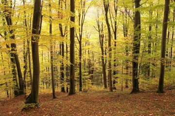 Autumnal beech forest at the beginning of November