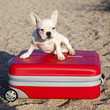 Cachorro de bulldog francés blanco subido en maleta roja