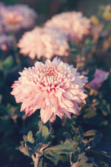 Pink Chrysanthemums flower - genus of flowering