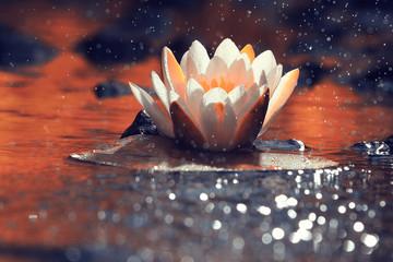 lily white autumn pond