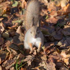 squirrel on autumn leaves