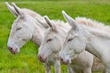 three white donkeys in a row on the pasture