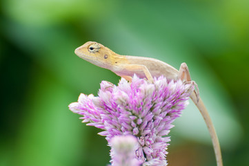 Little yellow lizard on pink Celosia argentea flower.