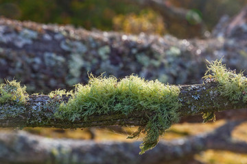 Mossy old tree branch