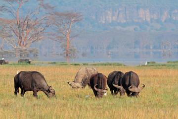 Grazing African buffaloes, Lake Nakuru National Park