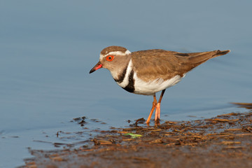 Three banded plover, Kruger National Park