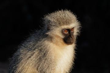 Portrait of a vervet monkey