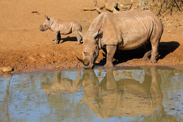 White rhinoceros and calf, Mkuze game reserve