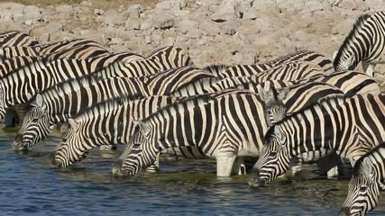 Plains (Burchell's) Zebras drinking water