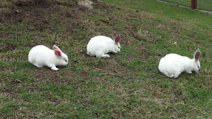 White Rabbits, Bunny, Easter, Wildlife