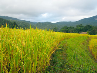 Rice terraces of local village